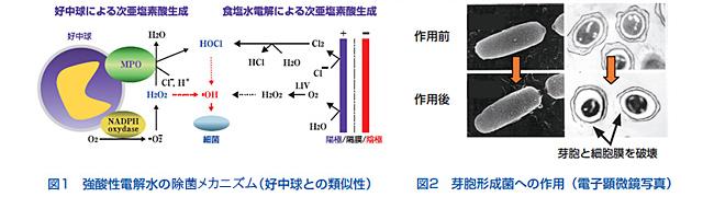 図1.強酸性電解水中の殺菌機序 図2.芽胞形成菌への作用
